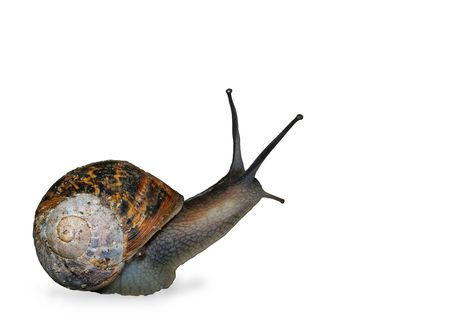 Snail isolated on a white background.