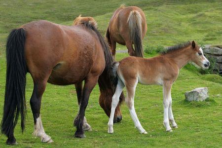 Wild Welsh Mountain veulens en volwassen pony's staan op ruige grasland in het voorjaar. De Welsh Mountain pony's de vrije loop in de Brecon Beacons National Park, Wales, Verenigd Koninkrijk.
