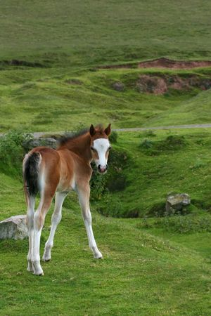 Wild Welsh mountain foal standing on rough grassland in spring. The Welsh mountain ponies run free in the Brecon Beacons National Park, Wales, United Kingdom. photo