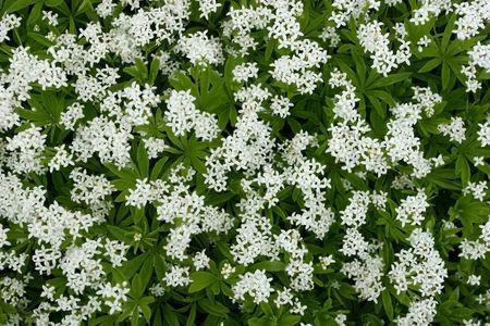 woodruff: Woodruff white flowers. (Gallium odoratum)