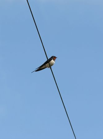 Migrating swallow resting on an electric wire against a blue sky. photo