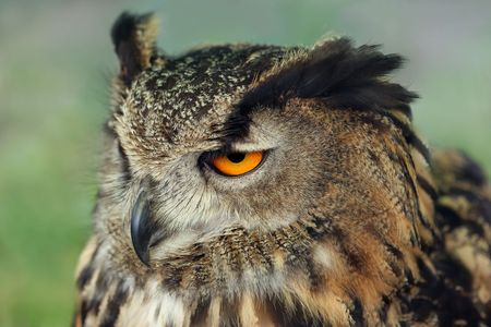 Profile of a european eagle owl. Stock Photo - 506402