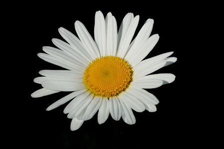 in ox: White and yellow ox eye daisy isolated on a black background