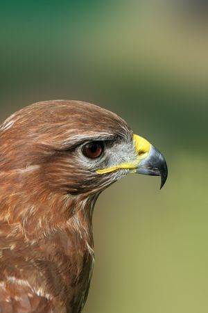 Profile of a buzzard photo