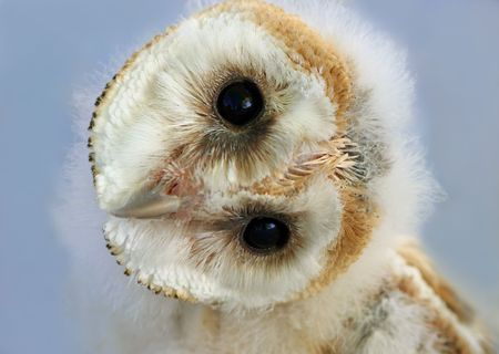 Portrait of a  barn owl with its head naturally rotated. Owls have the ability to rotate their heads in this way. photo
