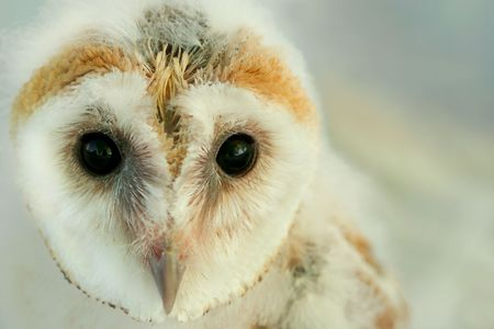 Face of a new born  barn owl. photo