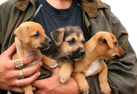 Tres pastor alemán y labrador cruzado cachorros en los brazos de un hombre con grandes anillos de oro y diamantes en los dedos. Más de blanco. Foto de archivo - 594788