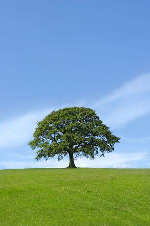 roble arbol: En roble, lleno de hojas de pie sola en un campo en el verano contra un cielo azul.  Foto de archivo