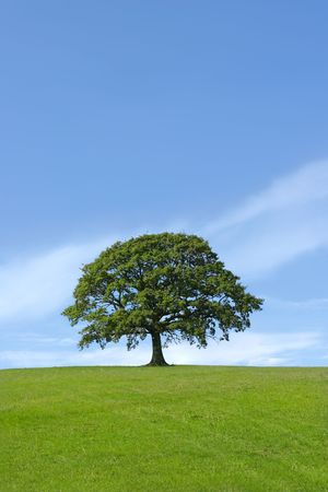 solitary tree: Oak tree in, full leaf standing alone in a field in summer against a blue sky.
