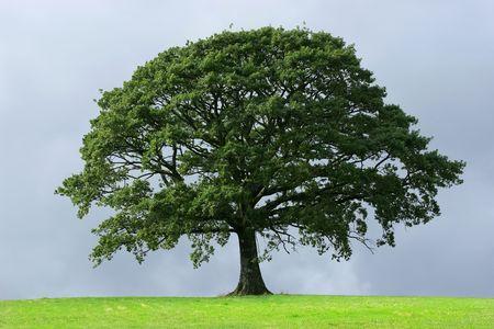 ek: Oak tree in full leaf in summer standing alone in a field against a steel grey stormy sky.
