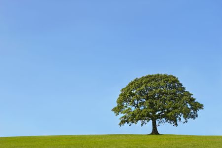 Oak tree in a field in Summer, with grass to the foreground, set against a clear blue sky. photo