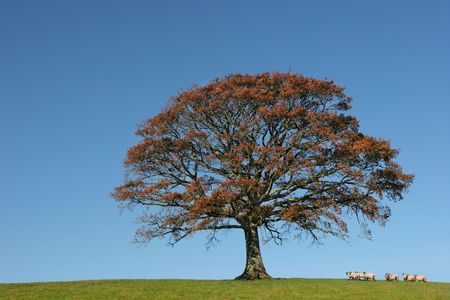 oak wood: Oak tree in Autumn in a field with a herd of sheep, set against a clear blue sky.
