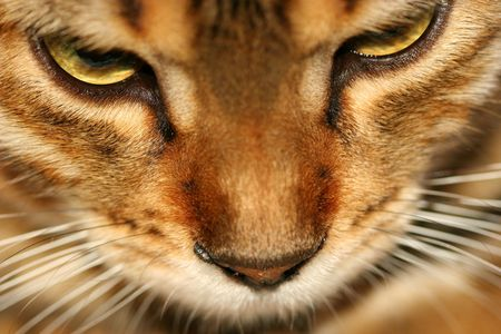bengali: Close up of the face of a Bengali special breed kitten.