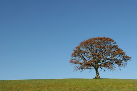 Oak tree in a field in Autumn, with grass to the foreground, set against a clear blue sky. photo