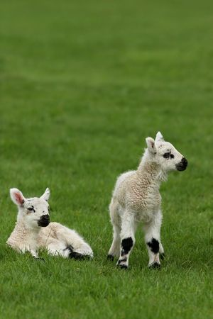 Two lambs together in a field in spring. photo