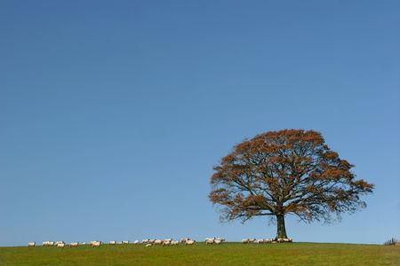 Oak tree in fall in a field with a herd of sheep against on clear blue sky. Stock Photo - 722759