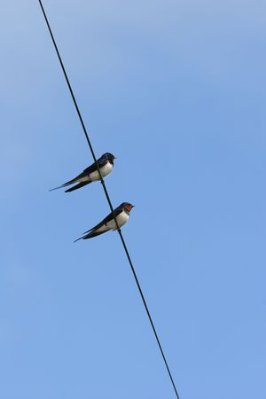 Two swallows resting on an electric wire in summer, against a blue sky. photo