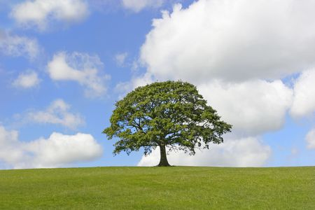 Oak tree in full leaf standing alone in a field in summer against a blue sky with cumulus clouds. photo