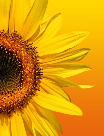 pollinate: Half a sunflower isolated on a gradient yellow and orange background.