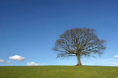 Oak tree in a field in Winter, devoid of leaves, with grass to the foreground, set against a clear blue sky with small clouds. Stock Photo