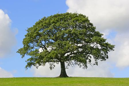 roble arbol: Roble en pleno hoja de pie por s� sola en un campo de verano en contra de un cielo azul con nubes c�mulos.