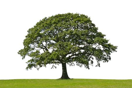 solitary tree: Oak tree in full leaf standing alone in a field in summer against a white background Stock Photo