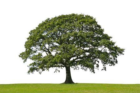 Oak Tree in voller Blatt für sich allein in einem Bereich, im Sommer vor einem weißen Hintergrund  Standard-Bild