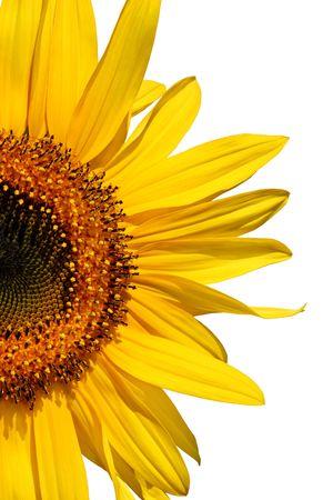 segmento: Mezza segmento di una fioritura di girasole contro bianco,