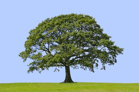 Oak tree in full leaf standing alone in a field in summer against a blue background Stock Photo