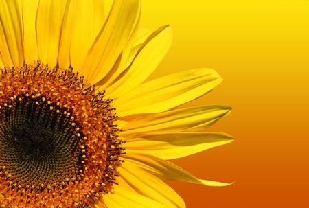 sunflower isolated: Sezione di un girasole isolato su una priorit� bassa gialla ed arancione di pendenza.