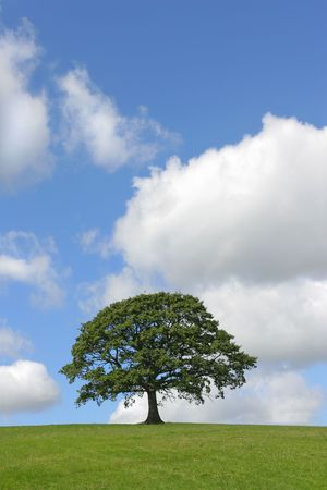 cumulus: Oak tree in full leaf standing alone in a field in summer against a blue sky with cumulus clouds.