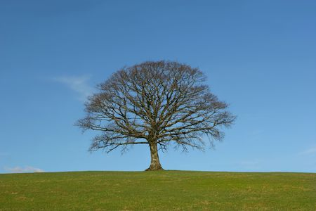 Oak tree in a field in winter, devoid of leaves, with grass to the foreground, set against a clear blue sky. photo
