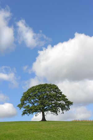 Oak tree in full leaf standing alone in a field in summer with a small fence nearby, against a blue sky with cumulus clouds. Stock Photo - 813052