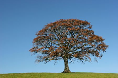 Oak tree in Autumn in a field, set against on clear blue sky. Stock Photo - 813054