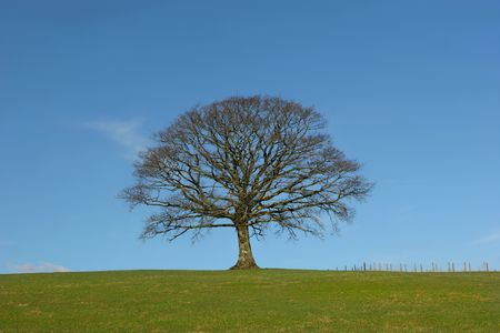 Oak tree in a field in Winter, devoid of leaves, with grass to the foreground and a small fence to the side, set against a clear blue sky. Stock Photo - 813056