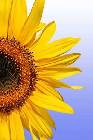 Section of a sunflower against a gradient blue and white background.