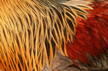 irridescent: Abstract close up of the feathers of a Blue Partridge Brahma cockerel in red, gold, black and brown. Stock Photo