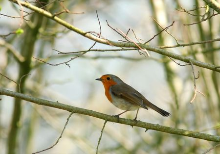 Robin standing on a small branch of a tree in early spring. Stock Photo - 873695