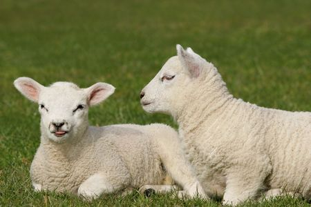 poking: Twin white lambs sitting next to each other in a field in Spring, one lamb is poking its tongue out.