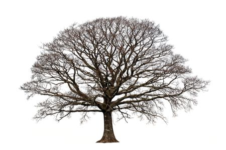 leafless: Oak tree in winter devoid of leaves set against a white background.