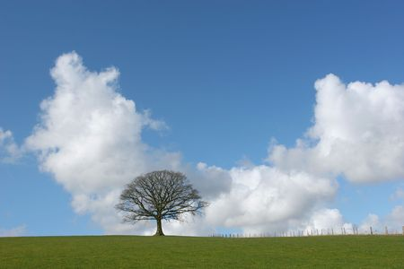 Oak tree in a field in winter devoid of leaves with grass to the foreground and a small fence to the side set against a blue sky with cumulus clouds.. Stock Photo - 884359
