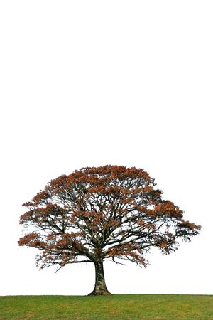 Oak tree in Autumn in a field, set against a white background. photo
