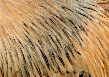 natural cock: Close up of the feathers of a Lemon Millefleur Sabblepoot special breed cockerel. Stock Photo