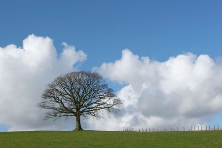 Oak tree in a field in winter devoid of leaves with grass to the foreground and a small fence to the side set against a blue sky with cumulus clouds. Stock Photo - 969527