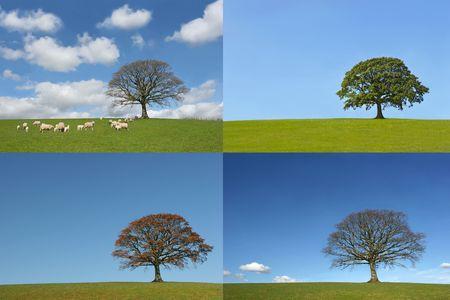 estaciones del año: Roble en cuatro secciones de las cuatro estaciones, primavera, verano, otoño e invierno, que representa un lapso de tiempo del ciclo anual.