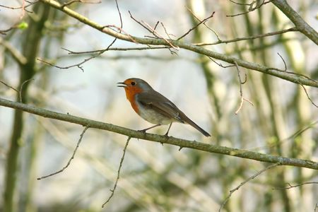 Robin standing on a small branch of a tree in early spring. Stock Photo - 1282450