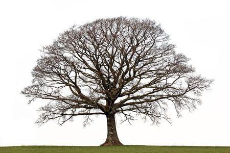 Oak tree in a field in winter devoid of leaves set against a white background.