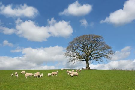 Oak tree in spring, with sheep and lambs grazing in a field in the foreground and a blue sky with altocumulus clouds to the rear. Stock Photo - 1282453