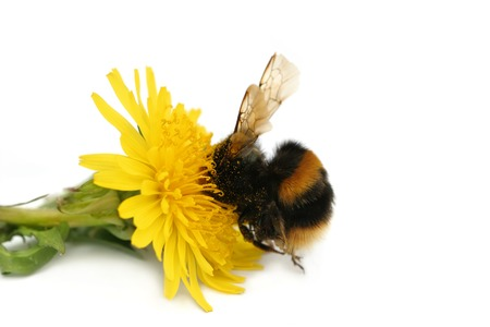 Bumble bee with its head buried in a dandelion flower, covered in pollen, against a white background. Stock Photo