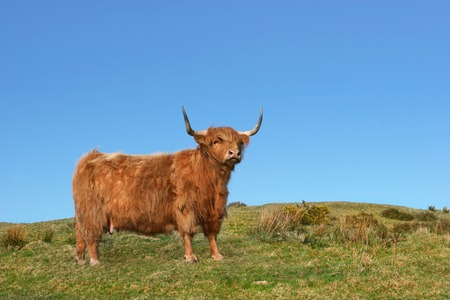 dexter: Dexter Highland cow standing on rough grassland, against clear blue sky. Stock Photo
